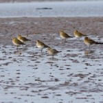 American Golden Plover Findhorn Bay 1 Nov 2014 Tony Backx 3