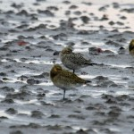 American Golden Plover Findhorn Bay 31 Oct 2014 Gordon Biggs