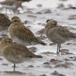 American Golden Plover Findhorn Bay 31 Oct 2014 Richard Somers Cocks 2