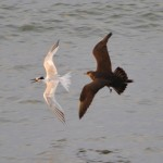 Arctic Skua with tern Tugnet 13 Aug 2013 Lenny Simpson