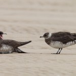Arctic Skuas Findhorn beach 11 Aug 2016 Richard Somers Cocks 1 PS