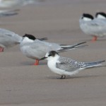 Arctic Tern Findhorn 23 Aug 2014 Richard Somers Cocks