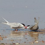 Arctic Terns Lossie east beach 20 July 2013 Richard Somers Cocks