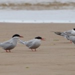 Arctic and Common Terns Findhorn 26 Jul 2015 Richard Somers Cocks
