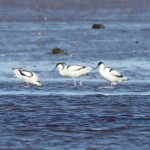 Avocets Findhorn Bay 22 Apr 2016 Richard Somers Cocks 2 P