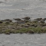 Bairds Sandpiper Spey estuary 14 Sep 2017 David Main 2