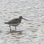 Bar tailed Godwit Burghead 10 Oct 2013 Alison Ritchie
