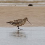 Bar tailed Godwit Findhorn 24 Jul 2016 Richard Somers Cocks P