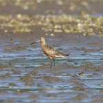 Bar tailed Godwit Findhorn Bay 9 July 2013 Richard Somers Cocks