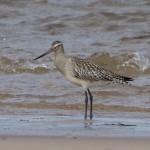 Bar tailed Godwit Findhorn beach 27 Aug 2015 Richard Somers Cocks
