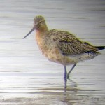 Bar tailed Godwit Lossie e copy