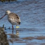 Bar tailed Godwit Lossie estuary 27 Sep 2016 David Main