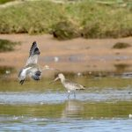 Bar tailed Godwit Lossie estuary 29 Sep 2017 Ron Macdonald