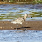 Bar tailed Godwit Lossie estuary 4 Aug 2013 Gordon Biggs 2