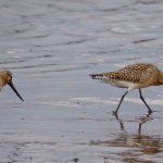 Bar tailed Godwit Portgordon 9 Sep 2017 Nick Mellor