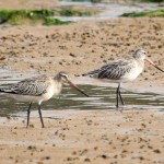 Bar tailed Godwits Burghead 31 Aug 2013 Gordon Biggs