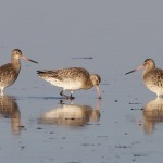 Bar-tailed Godwits, Findhorn 10 Nov 2014 (Richard Somers Cocks)