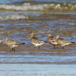 Bar tailed Godwits Findhorn Bay 15 Aug 2013 Richard Somers Cocks