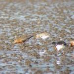 Bar tailed Godwits Findhorn Bay 3 Jul 2015 Richar5d Somers Cocks