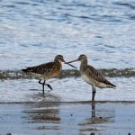 Bar tailed Godwits Lossiemouth 30 Dec 2014 Gordon Biggs