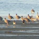 Barnacle Geese Findhorn Bay 3 Nov 2015 Richard Somers Cocks 1