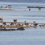 Barnacle Geese Findhorn Bay 7 Sept 2015 Richard Somers Cocks