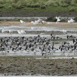 Barnacle Geese Tugnet 6 Oct 2015 005 Martin Cook