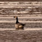 Barnacle Goose Findhorn Bay 20 May 2018 Gordon McMullins