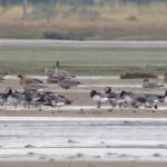Barnacle Goose Findhorn Bay 5 Oct 2015 Richard Somers Cocks