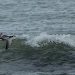 Barnacle Goose Lossiemouth 6 Oct 2014 David Main