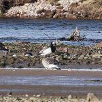 Barnacle Goose Spey estuary 22 Mar 2018 Martin Cook
