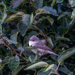 Barred Warbler Portknockie 13 Sep 2017 Lenny Simpson 2