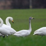 Bewicks Swan Ardivot 21 Mar 2016 Gordon Biggs 2 P