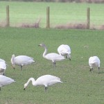 Bewicks Swan Ardivot 27 Mar 2016 Andy Williams