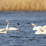 Bewicks Swan Loch Spynie 31 Mar 2016 Gordon Biggs 1