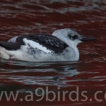 Black Guillemot Burghead 12 Jan 2016 Mike Crutch 2
