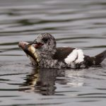 Black Guillemot Findhorn 22 Aug 2016 Richard Somers Cocks