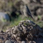 Black Redstart Spey Bay 17 Feb 2017 David Main P