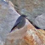 Black Redstart Spey Bay 18 Feb 2017 Jack Harrison