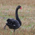 Black Swan Calcots 27 Dec 2014 Gordon Biggs 2