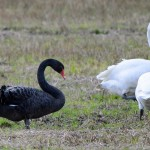 Black Swan Foresterseat 1 Jan 2015 Gordon Biggs