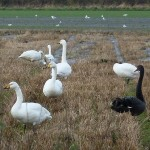 Black Swan Muirton 9 Nov 2014 Bob Proctor