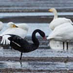 Black Swan Waukmill 20 Dec 2014 David Devonport 1