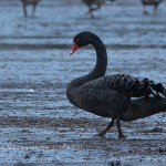 Black Swan Waukmill 20 Dec 2014 David Devonport 2