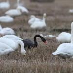 Black Swan near Lossiemouth 22 Nov 2014 Derek McGinn 1