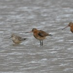 Black Tailed Godwits Find copy