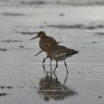 Black Tailed Godwits Findhorn Bay 19 Sept 2013 Gordon McMullins 1