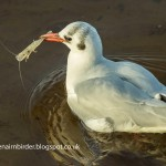 Black headed Gull Dec 2013 Seamus McArdle