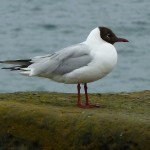 Black headed Gull Lossiemouth harbour 19 Jul 2014 Bob Proctor