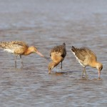 Black tailed Godwit Findhorn Bay 4 Aug Richard Somers Cocks